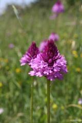 Orchidee spontanee del Bosco Montauro