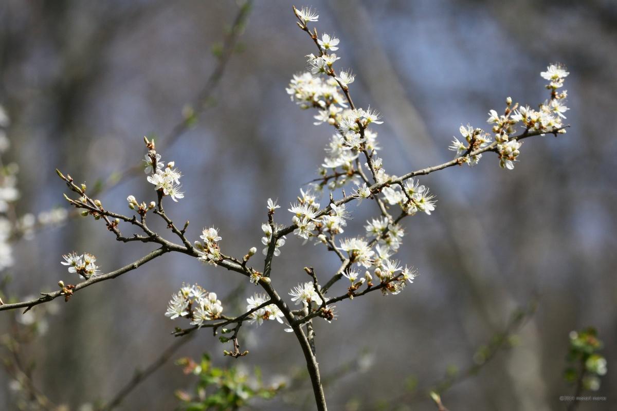 Marzo - Un Prunus spinosa L. famiglia Rosaceae in fiore al Bosco Montauro. Territorio sito nel Comune di San Bartolomeo in Galdo BN Italy.