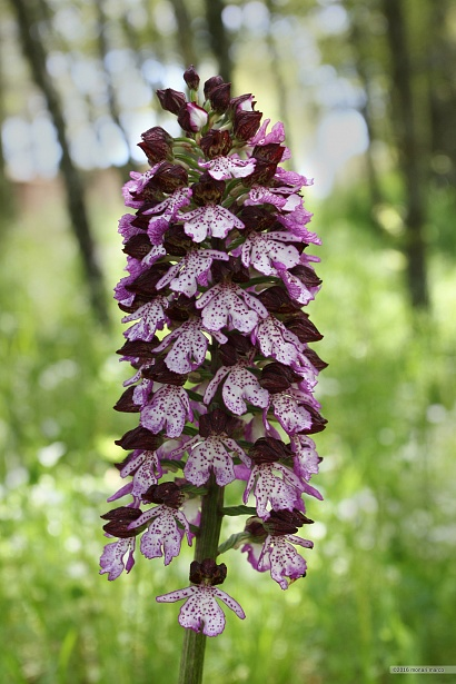 Orchis purpurea - Orchis purpurea Huds. ~ Orchide maggiore. Bosco Montauro, territorio del Comune di San Bartolomeo in Galdo BN Italy.