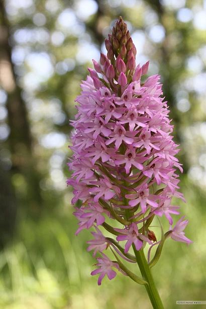Anacamptsis pyramidalis - Anacamptsis pyramidalis (L.) Rich. ~ Orchide piramidale. Bosco Montauro, territorio del Comune di San Bartolomeo in Galdo BN Italy.