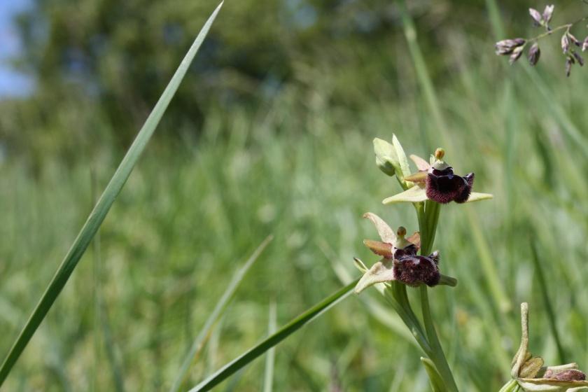 L'orchidea Ophrys incubacea Bianca ex Tod., specie protetta. La lista completa delle Orchidee spontanee del Bosco Montauro la puoi trovare in questo reportage.