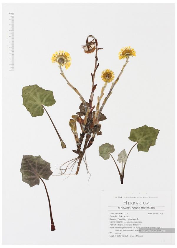 Foglio 0049/0031-2 a - Tussilago farfara L. - Asteraceae ~ tossilaggine comune.