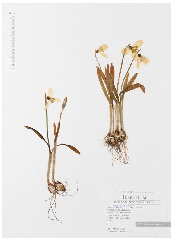 Foglio 0025/0117-1 - Galanthus nivalis L. - Amaryllidaceae ~ bucaneve.